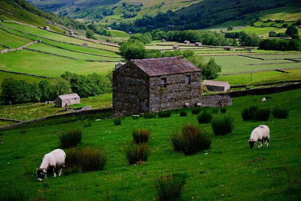 Barn sheep